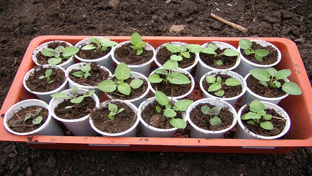 Урожайность и выращивание картофеля