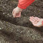 Особенности посадки укропа под и в зиму