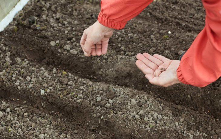 как посадить укроп под зиму